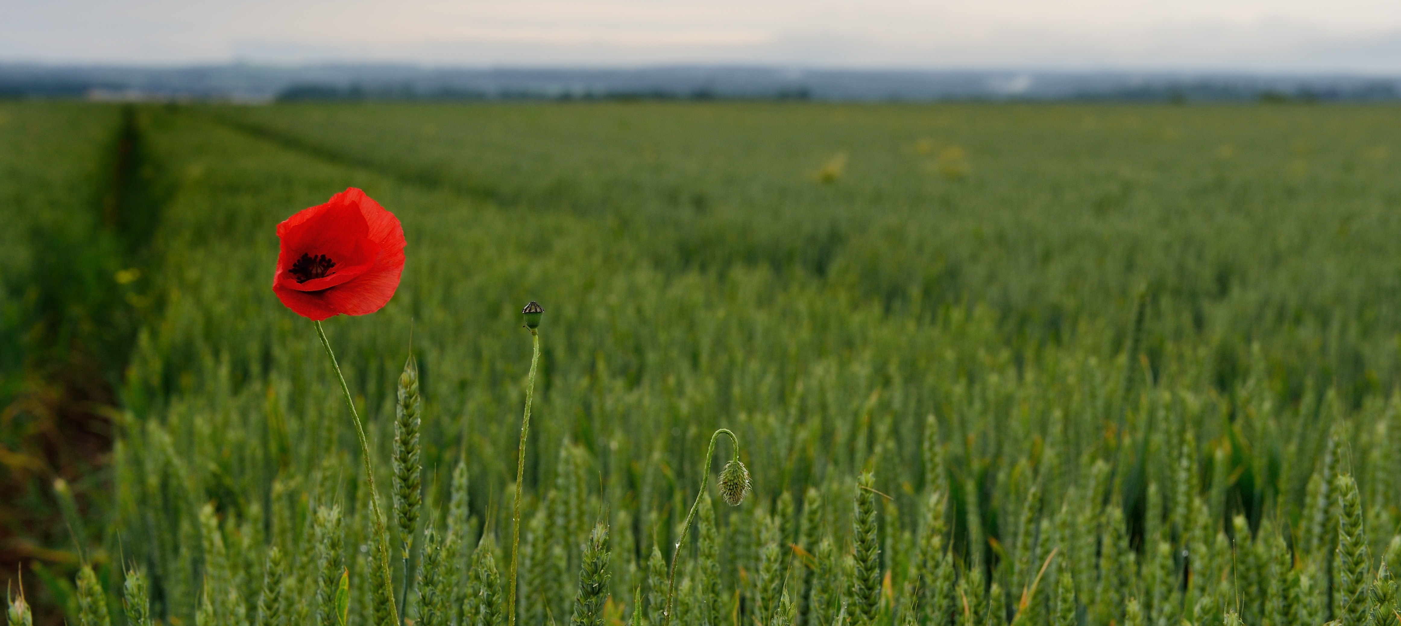 A poppy stands in the middle of a field beside the Bretteville-sur-Laize Canadian War Cemetary during the 70th Anniversary of D-Day and the Battle of Normandy ceremony at Bretteville-sur-Laize, France, on June 7, 2014.  Photo: MCpl Marc-Andre Gaudreault, Canadian Forces Combat Camera